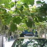我が家の「ブドウ」収穫中です。